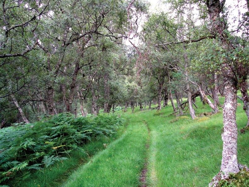 Birch-wood,-Girnoc