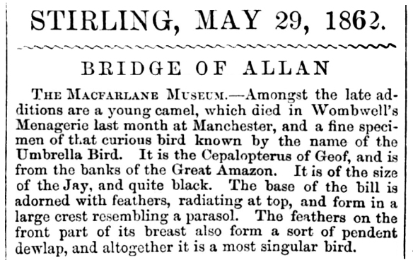 A Camel from Manchester, 1862