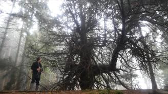 The Inchbrakie Yew tree 17 Dec 2018